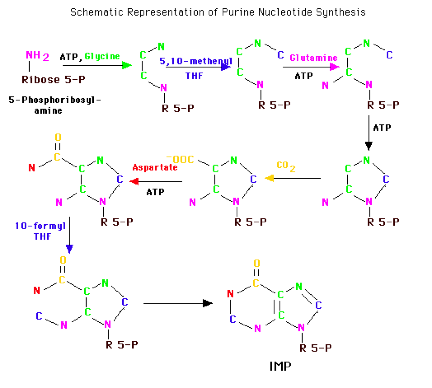purine synthesis The total-body urate pool is the net result between urate production and excretion urate production is influenced by dietary intake of purines and the rates of de novo biosynthesis of purines from nonpurine precursors, nucleic acid turnover, and salvage by phosphoribosyltransferase activities.